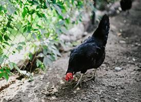 一组家禽土鸡,母鸡觅食的高清图片欣赏