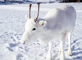 跟地上雪一樣白的白色馴鹿圖片