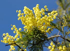 一组含羞草开出灿烂美丽的黄色花花图片