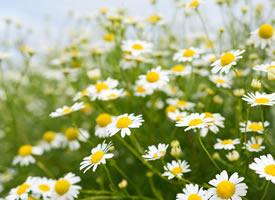 白色雛菊是一種花瓣白色花心是黃色的小花朵