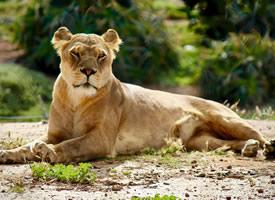 獅子的炯炯有神的眼睛射出犀利而威嚴的光芒