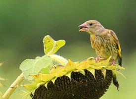 一组小鸟金翅雀吃瓜子的图片欣赏
