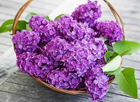 這么多的紫丁香花,一朵有一朵的姿勢,看起來像一幅很美的畫