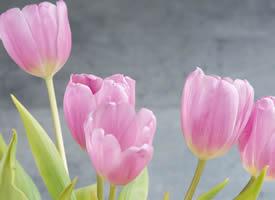一組粉嫩色嬌艷郁金香特寫圖片