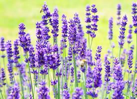 薰衣草外面露著輕盈的翅膀般暖紫花瓣