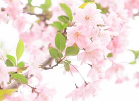 武汉大学粉嫩樱花大道高清图片欣赏