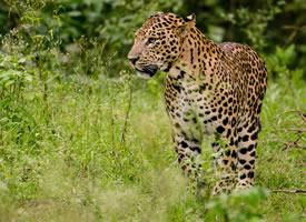 一组眼神犀利的野生金钱豹图片欣赏
