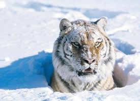一組雪中霸氣的白額虎圖片欣賞