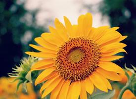 一組向日葵黃艷艷的花瓣顯得更加明媚鮮亮了