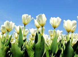 一组唯美好看的郁金香花丛高清图片欣赏
