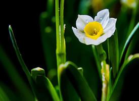 潔白如玉,花蕊金黃,簡凈素雅的水仙花
