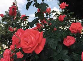 紅玫瑰代表著愛情,愛情充滿浪漫而富有激情