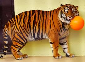 日本宮崎市自然鳳凰動物園的這只蘇門答臘虎