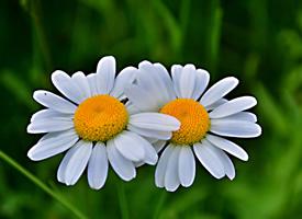 花瓣濃綠正抱似多多白云的小雛菊圖片欣賞