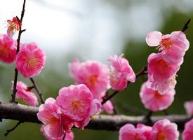 梅花寒凝大地,它頑強地開出一朵朵美麗的花