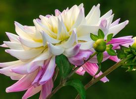 千姿百態帶有一股股淡淡的清香的大麗花