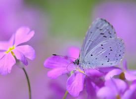 一组超美的蝴蝶停落在花朵的图片