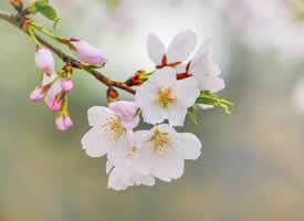 山深未必得春迟,处处山樱花压枝