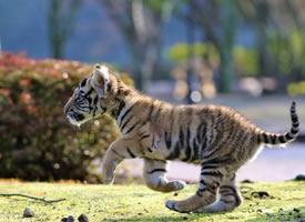 位于日本大分縣宇佐市非洲野生動物公園里面的小老虎