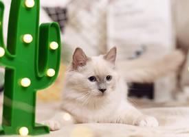 一组超可爱的小白猫图片欣赏