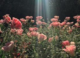 一组粉粉的看起超有韵味的蔷薇花图片