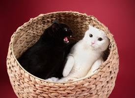 这家有一只黑喵,一只白喵,一只脸有点黑黑的喵