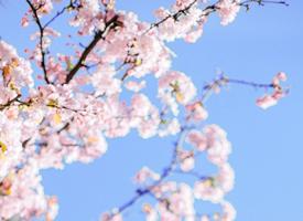 春天里一组粉色浪漫樱花图片