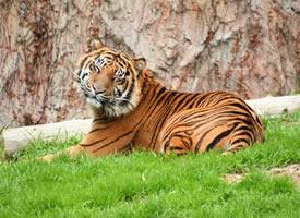 行動間體態呈流線型,肌肉結實健美的老虎
