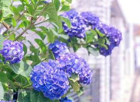 一組外表秀麗的像蝴蝶聚在一起的繡球花