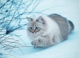 一组胖胖的有着雪白的毛毛的猫咪