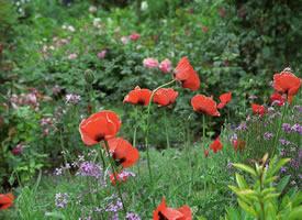 吉維尼,莫奈的房子和花園里有著美麗的鮮花