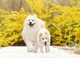 两只萨摩映着迎春花在雪地中奔跑的