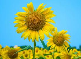 一組高清的向日葵花美麗圖片大全