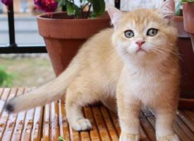 一只超漂亮的橘色小猫图片欣赏