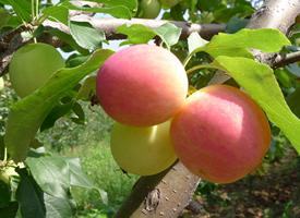 挂在树上超级新鲜又红红的苹果