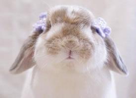 垂耳兔Poco 软软的小圆脑袋 一看就很好揉