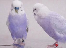香芋色的虎皮鹦鹉,这个颜色好仙好好看啊