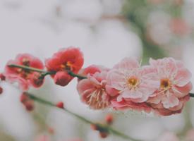 桃红柳绿、桃花烂漫、灼灼芬华的桃花