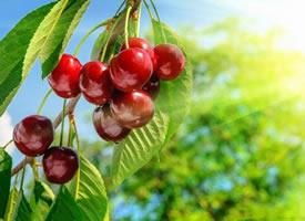 一组挂在树上红彤彤的樱桃图片欣赏