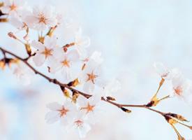 櫻花 一期一會,一波來自春天的小美好