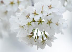 爛漫純白櫻花唯美高清桌面壁紙