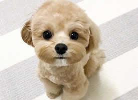 一组超可爱的马尔济斯犬图片欣赏