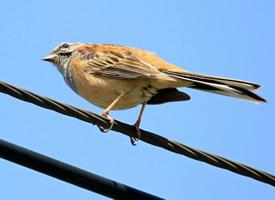 灰眉巖鹀鳥是一種細小的鳥類品種
