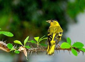 一只巴掌大愛吃嫩芽、種子以及少量昆蟲的鮮黃色小鳥