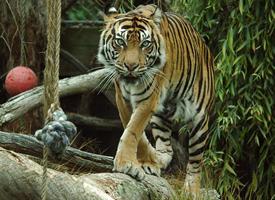 一组看起来特别威武的老虎图片欣赏