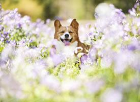 比花花高一点点的柯基君,很适合在花