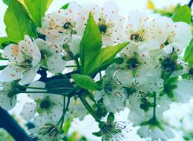 一朵朵皎潔的單瓣花朵依附在枝撐如傘的樹枝上