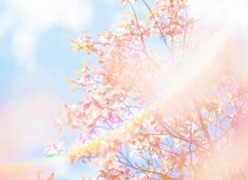 一組唯美的櫻花圖片欣賞