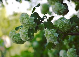 一組可愛的繡球花高清圖片欣賞