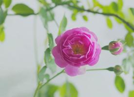 粉色淡雅薔薇花唯美高清壁紙欣賞